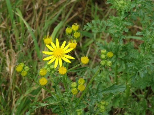 asteroideae flower plant