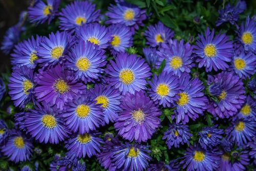 asters plant garden