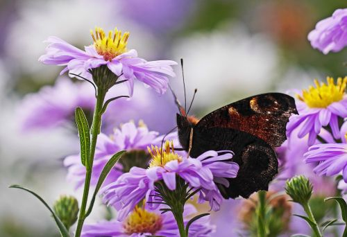 asters butterfly peacock butterfly