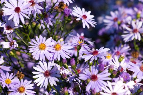 asters flowers purple