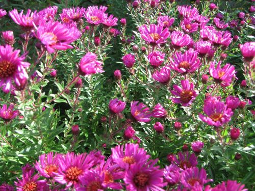 asters flowers autumn