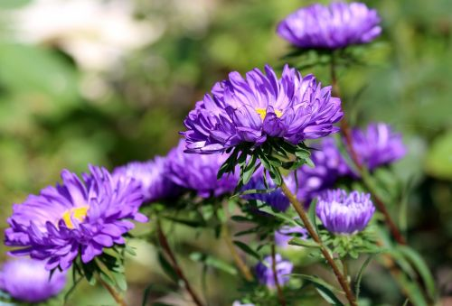 asters purple asters summer