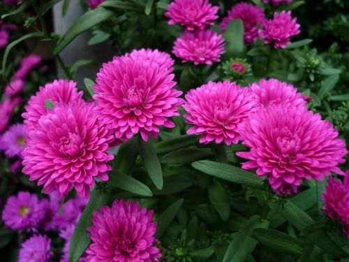 asters nature flowers