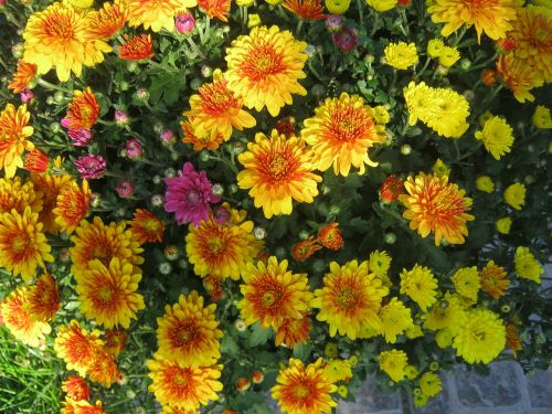 asters yellow autumn