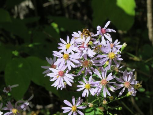 asters bee blossom