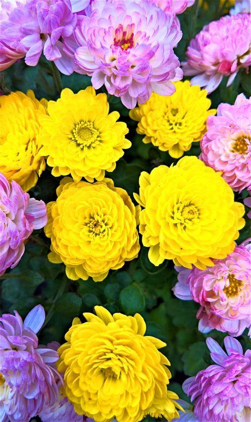 asters chrysanthemums asters flowers