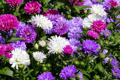 asters  dwarf asters  composites