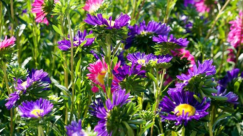 asters  blossom  bloom