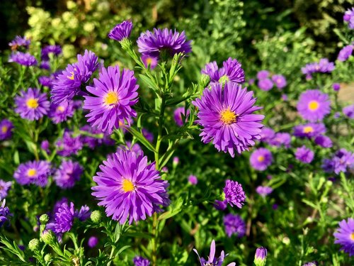 asters  flower  autumn