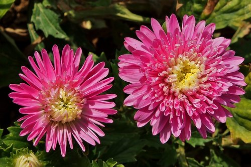 asters  pink  autumn