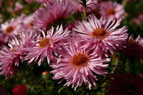 asters  flowers  bloom