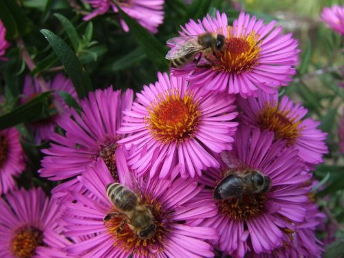 asters bees late summer