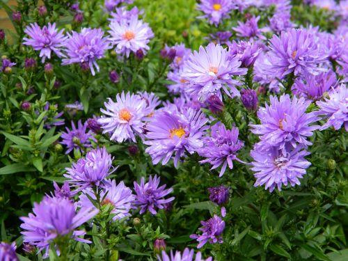 asters flowers garden