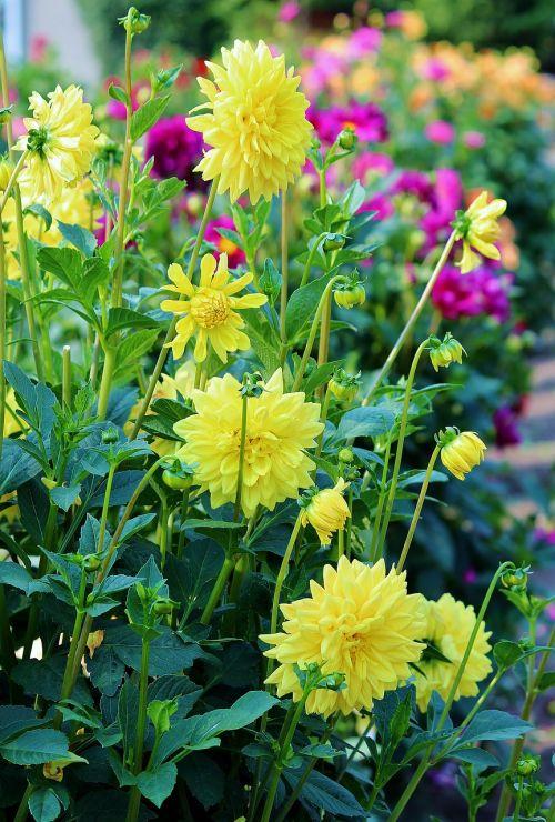 asters flowers field