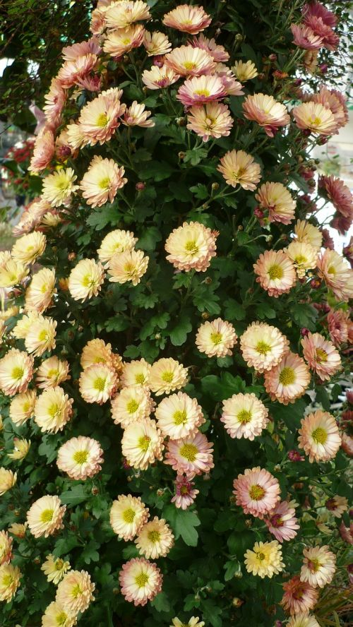 asters-tree,flower,decorative,flowers white,some,pink,pot-plant,late summer
