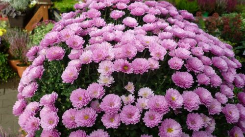 asters-tree,flower,flower dome,pink,great,flowerpot,nursery