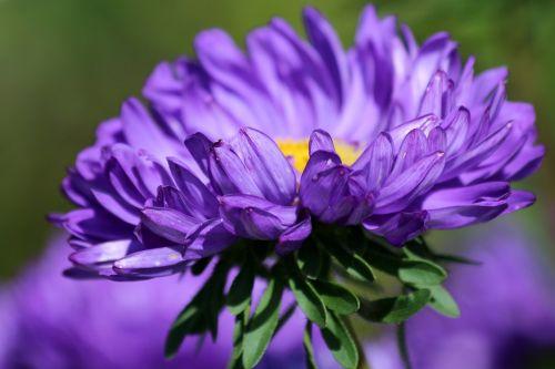 astra,violetinė astra,gėlė,sodo gėlė,vasaros gėlė,augalas,makro,graži gėlė,gamta,krupnyj planas