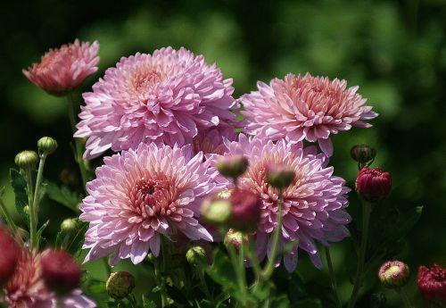 astra flowers garden