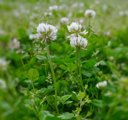 astragalus rengeso flowers