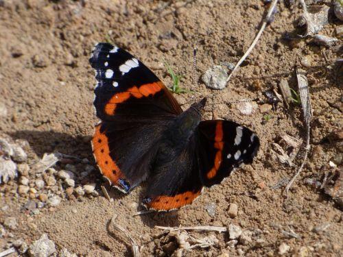 atalanta butterfly vanessa atalanta