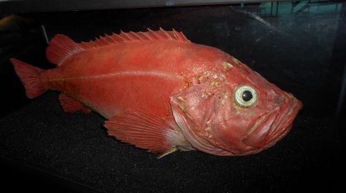 atlantic fired redfish ålesund
