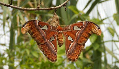 atlas butterfly  butterfly  moth