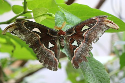 atlas moth  butterfly  motte