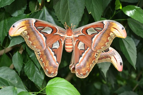 atlas moth  butterfly  insect