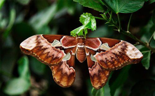 atlas moth butterfly attacus atlas