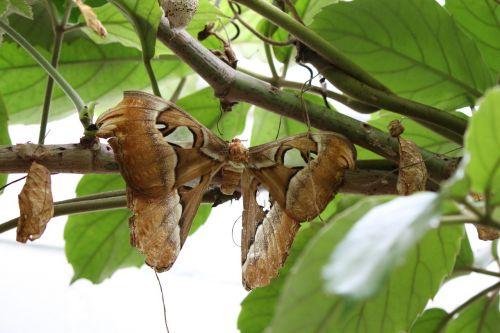 atlas silkworm attacus atlas butterfly