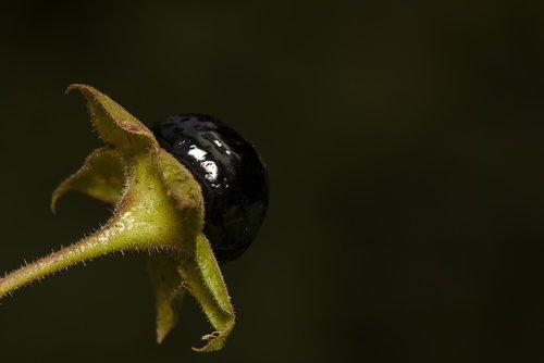 atropa belladonna  belladonna  fruit