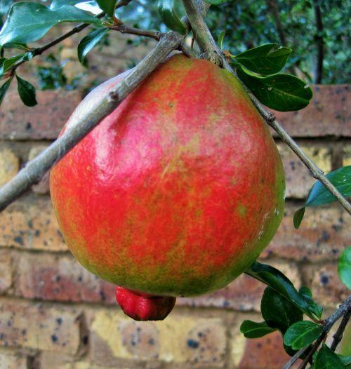 Attractive Pomegranate