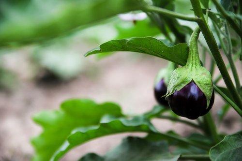 aubergine  plant  vegetable