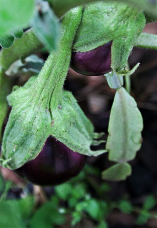 Aubergine Fruit On Plant
