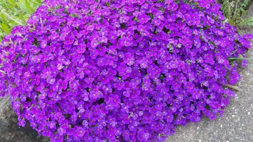 aubretia blue pillow violet