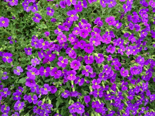 aubrieta blue pillow violet