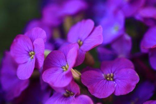 aubrieta  flowers  purple