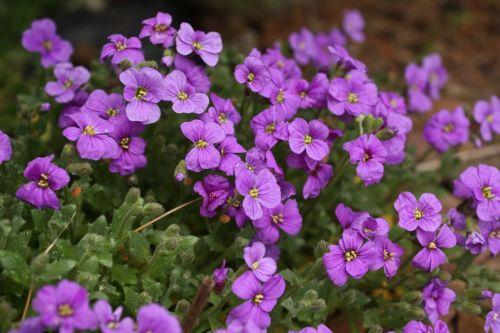 aubrieta deltoidea violet spring