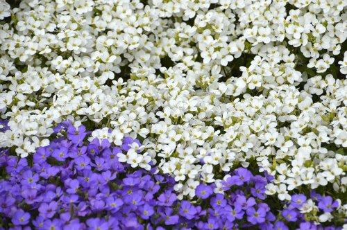 aubriète purple  aubrieta deltoidea  aubriète white