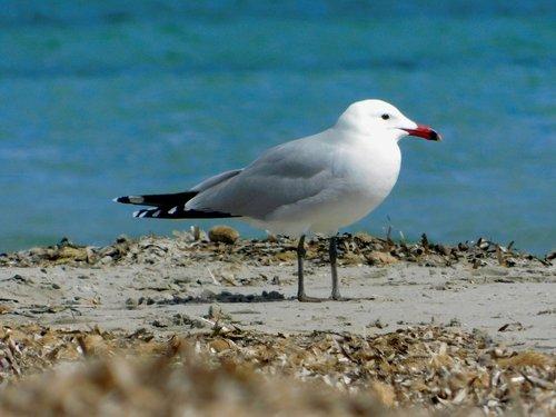 audouin gull  birdwatching  bird