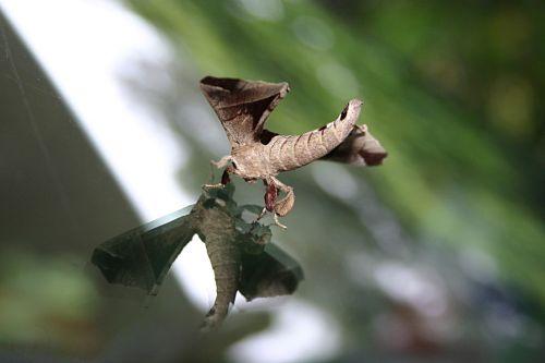 August Moth