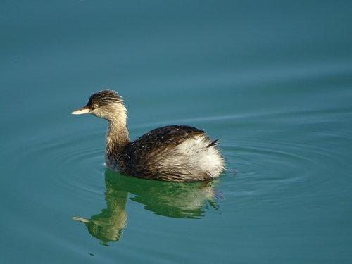 australasian grebe  bird  wildlife