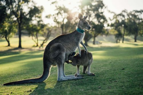 australia kangaroo outback