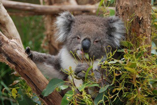 australia koala koala bear