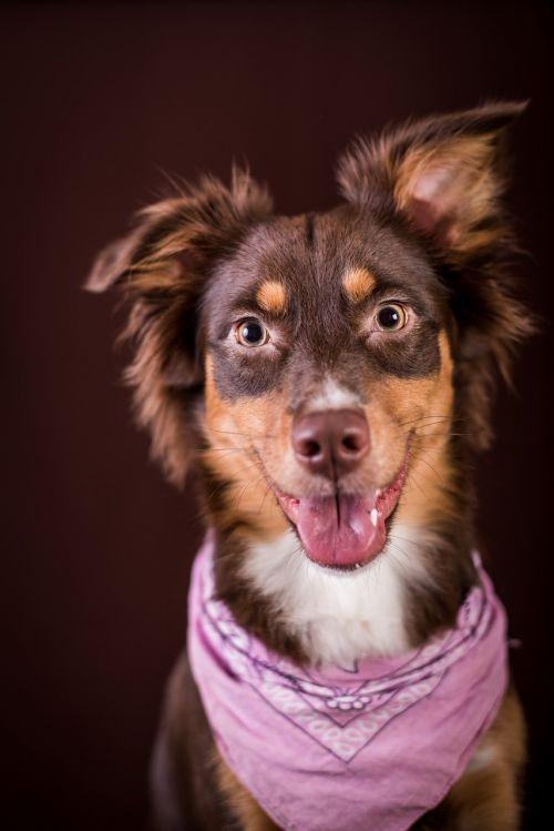 australia,šuo,studija,dėmesio,naminis gyvūnėlis,kailis,lenktynės,gyvūnas,fotostudija