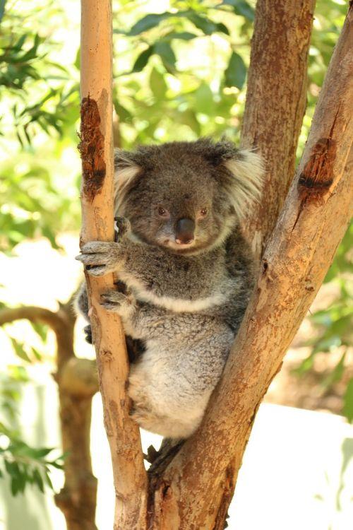 australia koala bear koala