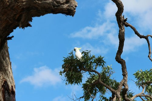 australia  outback  sulphur crested
