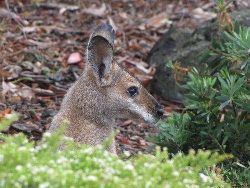 australia  marsupial  wallaby