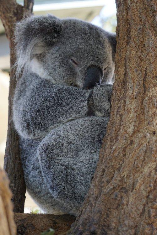 australia  koala  zoo