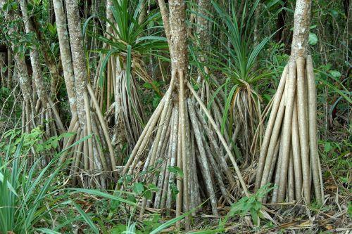 australia mangroves plant